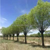 供应沙地柏馒头柳出售爬地柏旱柳销售柳树