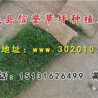 栾城信誉草坪种植基地