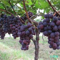 葡萄采摘园搭架用的钢丝葡萄架专用钢丝