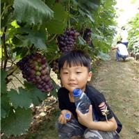 农家乐采摘园葡萄成熟葡萄园搭架专用钢丝