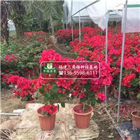 三角梅种植基地供应【三角梅绿化苗】盆栽苗