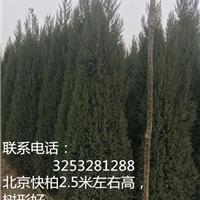 供应优良北京快柏/厂家大量促销快柏树